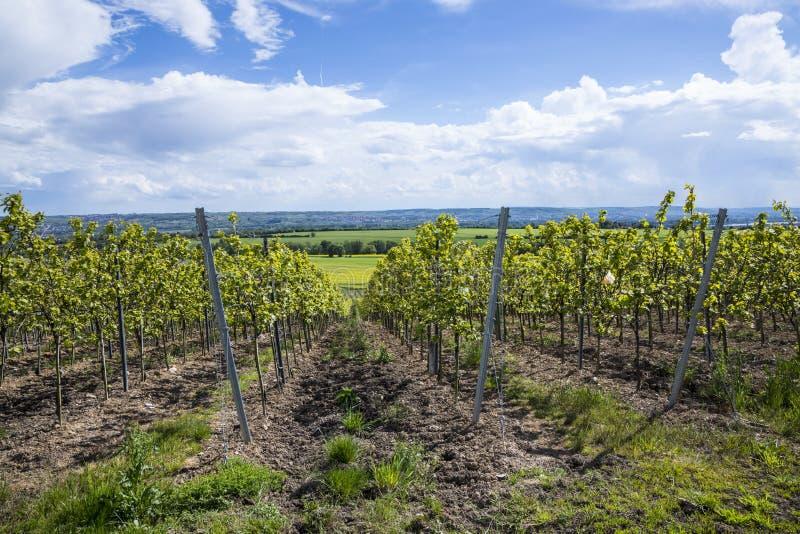 Αμπελώνας στο Rheingau, η περιοχή κρασιού στον ποταμό Ρήνος στοκ φωτογραφία με δικαίωμα ελεύθερης χρήσης