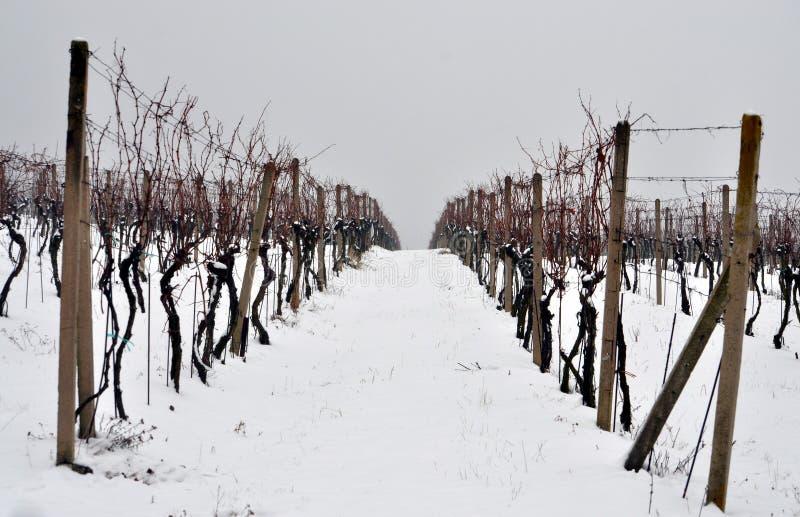 Αμπελώνας το χειμώνα στοκ εικόνα με δικαίωμα ελεύθερης χρήσης