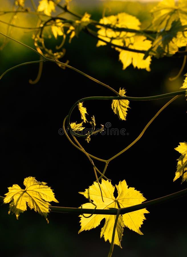 αμπελώνας στοκ φωτογραφία με δικαίωμα ελεύθερης χρήσης