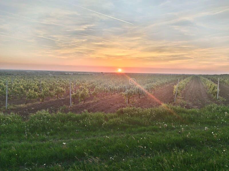 Αμπελώνες και ηλιοβασίλεμα στοκ φωτογραφία με δικαίωμα ελεύθερης χρήσης