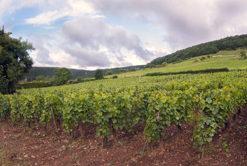 Αμπελώνες της περιοχής της Ντιζόν στο μήνα της Γαλλίας Αύγουστος στοκ εικόνα