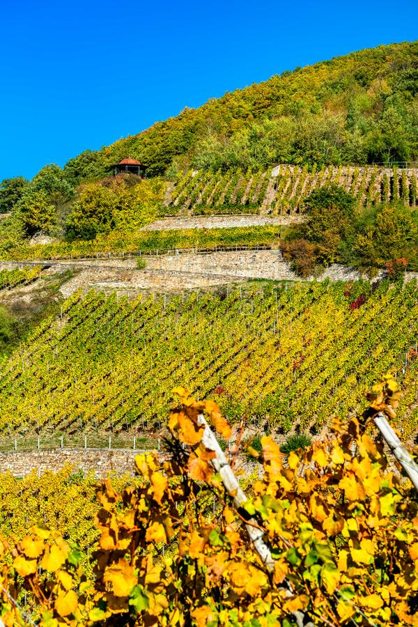 Αμπελώνες Rheingau σε Assmannshausen στην ανώτερη μέση κοιλάδα του Ρήνου, Γερμανία στοκ εικόνες