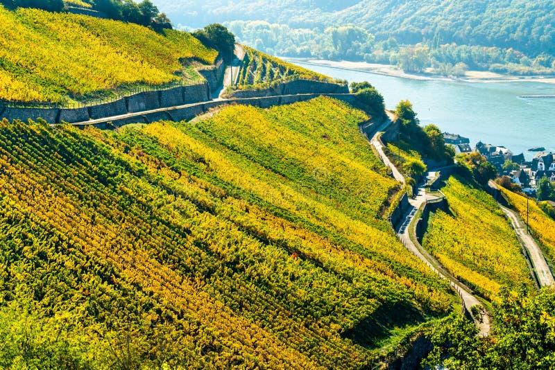 Αμπελώνες Rheingau σε Assmannshausen στην ανώτερη μέση κοιλάδα του Ρήνου, Γερμανία στοκ εικόνα