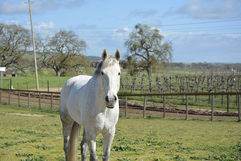 Αμπελώνας άνοιξη με το άσπρο άλογο στοκ εικόνα