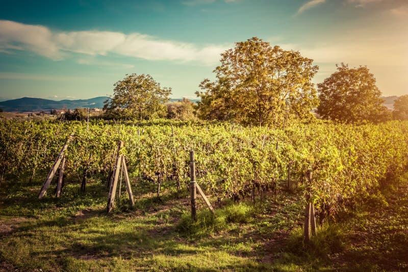 αμπελώνας της Ιταλίας Τοσκάνη Αγρόκτημα κρασιού στο ηλιοβασίλεμα Τρύγος στοκ φωτογραφία