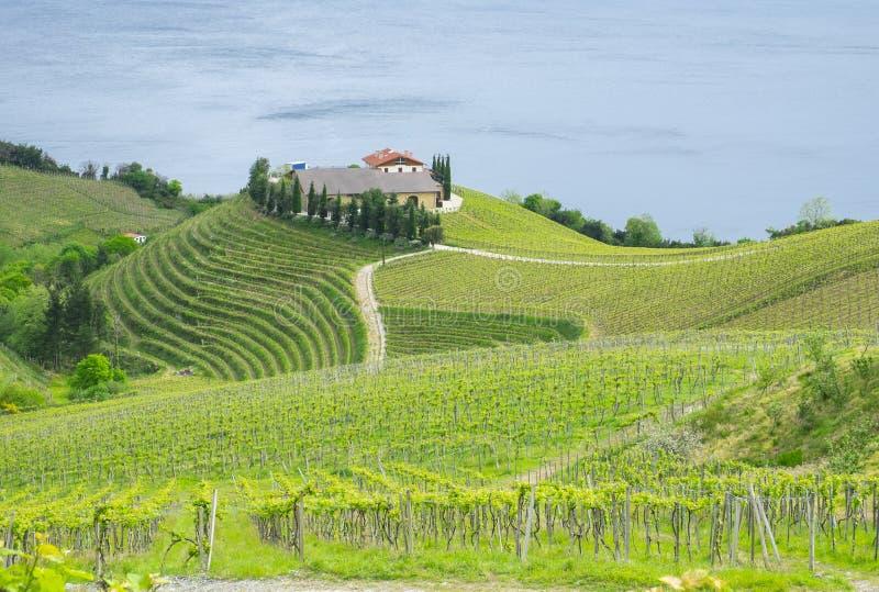Αμπελώνες και αγρόκτημα για την παραγωγή του άσπρου κρασιού στοκ εικόνες με δικαίωμα ελεύθερης χρήσης
