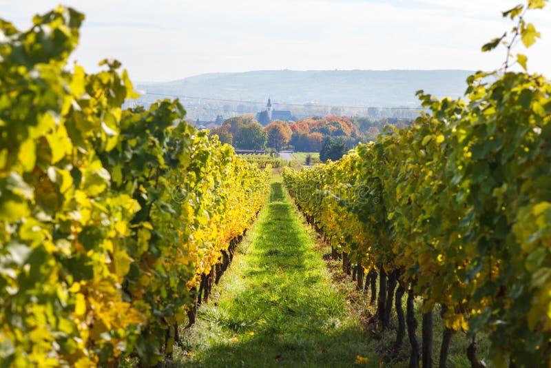 Αμπελώνες το φθινόπωρο στην περιοχή Rheingau της Γερμανίας στοκ εικόνα