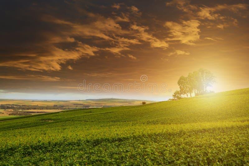 Αμπελώνες CHAMPAGNE στο ηλιοβασίλεμα, Montagne de Reims στοκ εικόνες