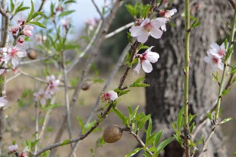 Αμύγδαλα και λουλούδια αμυγδάλων στοκ φωτογραφίες
