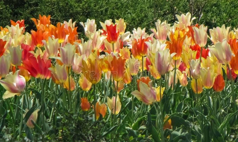 Ανάμεικτο λευκό, πορτοκάλι, κόκκινο, και κίτρινες τουλίπες στοκ φωτογραφία με δικαίωμα ελεύθερης χρήσης