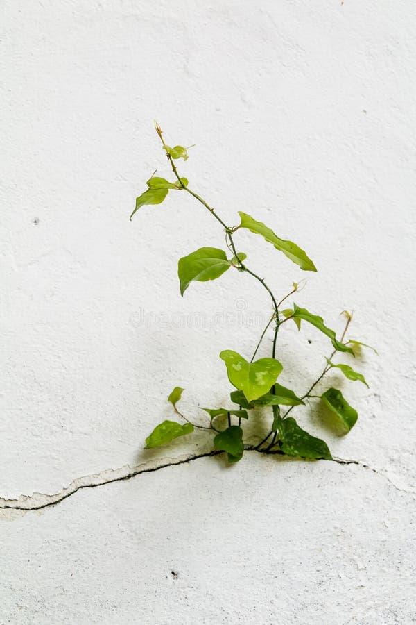 Ανάπτυξη δέντρων μέσω του ραγισμένου τοίχου Μικρός δέντρο-κατά τη διάρκεια της αύξησης στον τοίχο τσιμέντου Παλαιά ραγισμένη τοίχ στοκ φωτογραφία με δικαίωμα ελεύθερης χρήσης