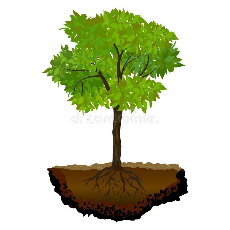 Ανάπτυξη δέντρων στο χώμα διανυσματική απεικόνιση