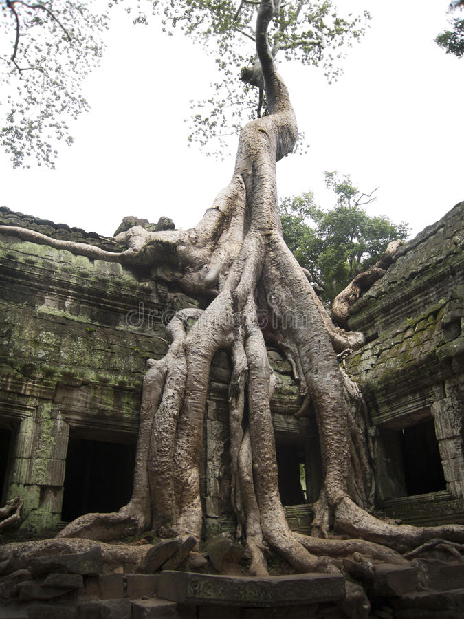 Ανάπτυξη δέντρων Banyan πάνω από το ναό TA Prohm στοκ εικόνες