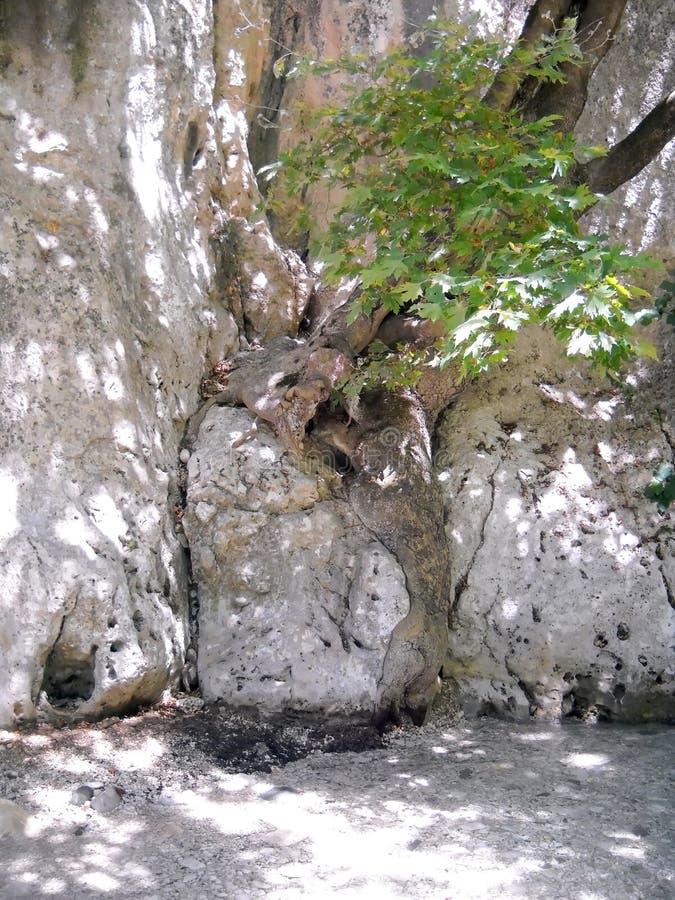 Ανάπτυξη δέντρων μεταξύ των βράχων από τον ποταμό Acheron στοκ εικόνες με δικαίωμα ελεύθερης χρήσης