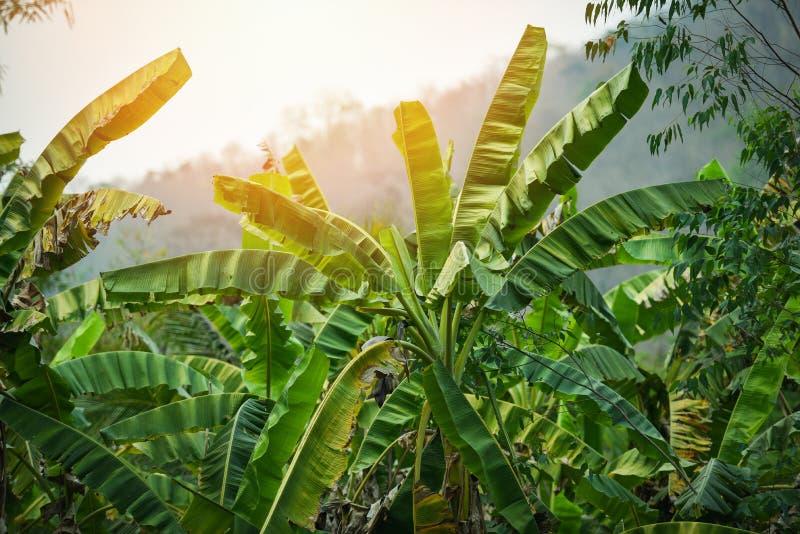 Ανάπτυξη δέντρων μπανανών μπανανών τομέων στο πράσινο ζουγκλών υπόβαθρο εγκαταστάσεων φύσης τροπικό στοκ φωτογραφίες