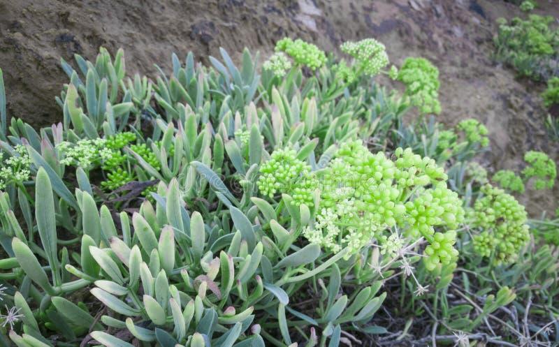 Ανάπτυξη εγκαταστάσεων Kritamos στους βράχους Έξοχο μάραθο θάλασσας τροφίμων Κρητικά χορτάρια για τις σαλάτες στοκ φωτογραφία με δικαίωμα ελεύθερης χρήσης