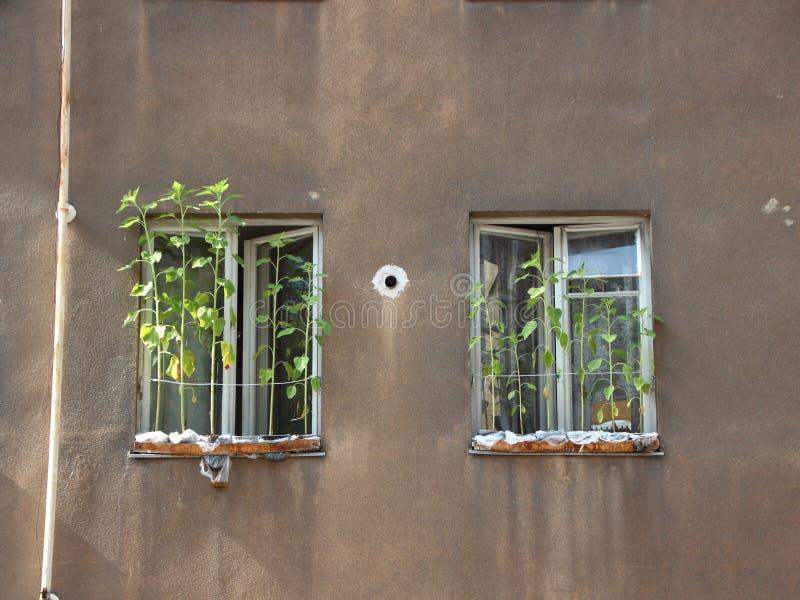 Ανάπτυξη ηλίανθων στο αστικό κιβώτιο λουλουδιών κάτω από δύο παράθυρα στοκ εικόνες με δικαίωμα ελεύθερης χρήσης