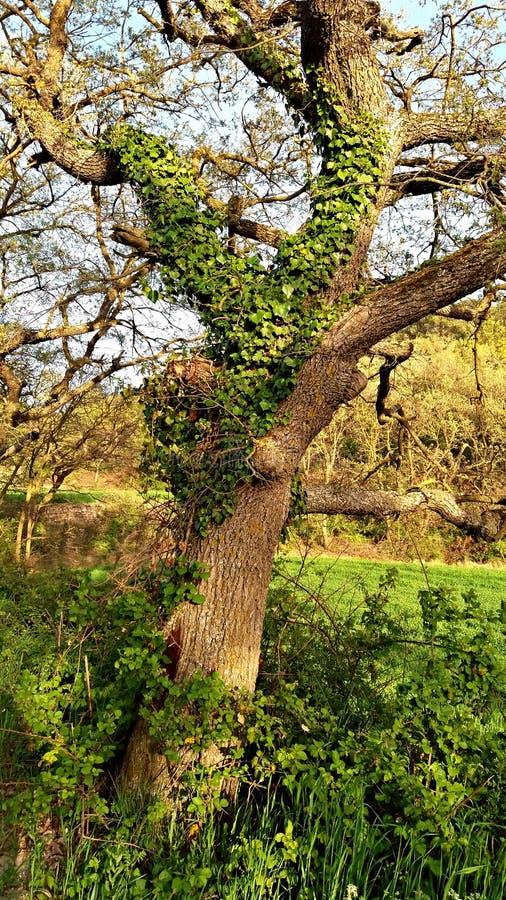 Ανάπτυξη κισσών στον κορμό ενός δέντρου στοκ εικόνες