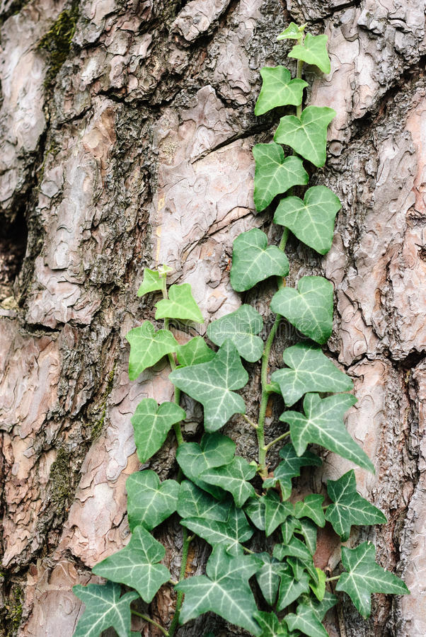 Ανάπτυξη κισσών στο δέντρο πεύκων στοκ εικόνες