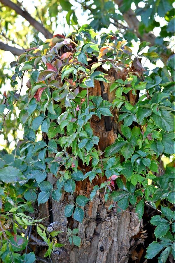 Ανάπτυξη κισσών στο νεκρό δέντρο στοκ εικόνα με δικαίωμα ελεύθερης χρήσης
