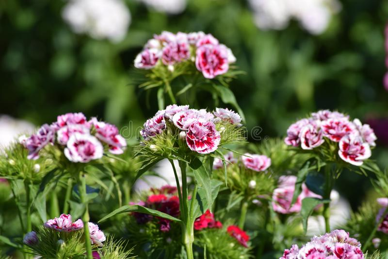 Ανάπτυξη λουλουδιών με το γλυκό William στοκ εικόνα