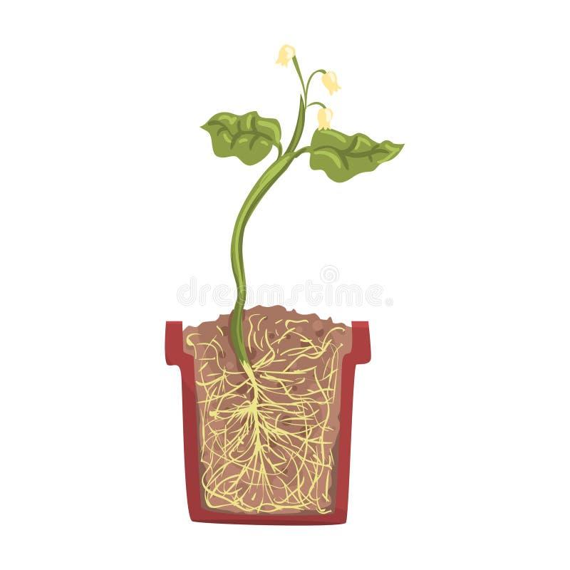 Ανάπτυξη πράσινων εγκαταστάσεων σε ένα δοχείο με το επίγειο χώμα, στάδιο της αύξησης, δοχείο σε μια διανυσματική απεικόνιση διατο ελεύθερη απεικόνιση δικαιώματος