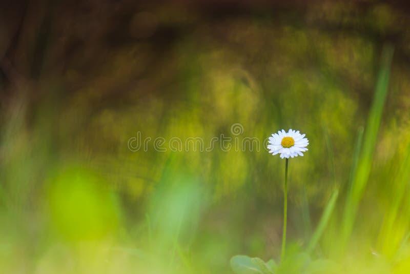 Ανάπτυξη της Daisy ψηλή όλος μόνος στοκ εικόνες