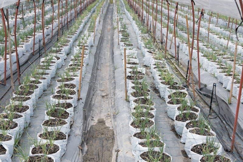 ανάπτυξη του κόκκινου βολβού κρεμμυδιών στο αγρόκτημα βλαστάνοντας πράσινο κρεμμύδι trans στοκ φωτογραφία με δικαίωμα ελεύθερης χρήσης