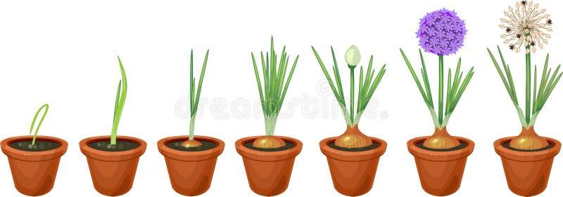 Ανάπτυξη των πράσινων κρεμμυδιών στο δοχείο διανυσματική απεικόνιση