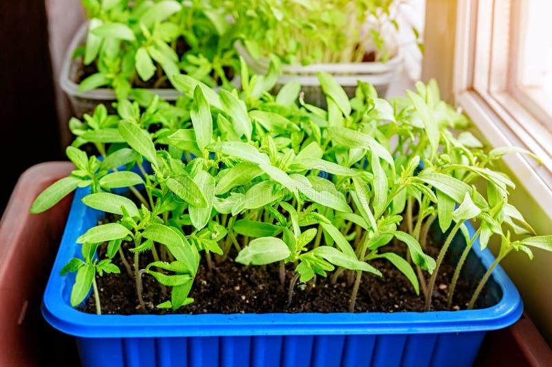 Ανάπτυξη των σποροφύτων των ντοματών και των πιπεριών στο windowsill στα πλαστικά δοχεία στοκ φωτογραφίες