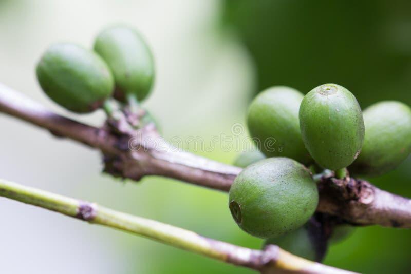 Ανάπτυξη φασολιών καφέ στοκ εικόνα με δικαίωμα ελεύθερης χρήσης