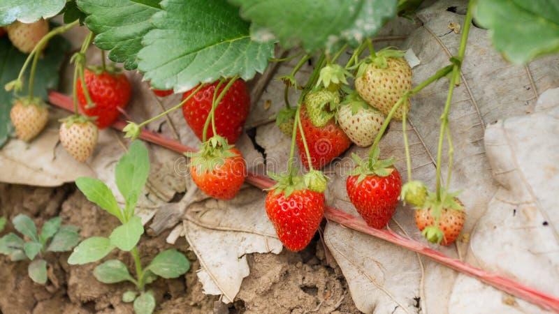Ανάπτυξη φραουλών στοκ φωτογραφία με δικαίωμα ελεύθερης χρήσης
