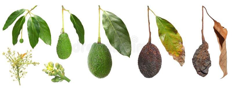 Ανάπτυξη φρούτων αβοκάντο στοκ εικόνες