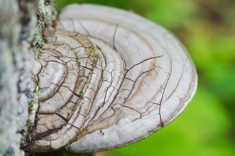 Ανάπτυξη fugus ραφιών από το φλοιό του δέντρου - γκρίζος και καφετής μύκητας από το φλοιό δέντρων με τις λειχήνες - εκλεκτική εστ στοκ φωτογραφία