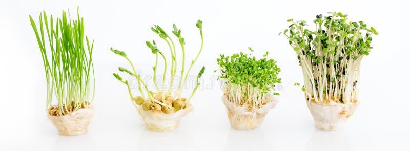 Ανάπτυξη microgreens στο άσπρο υπόβαθρο με ελεύθερου χώρου για το κείμενο Υγιής έννοια κατανάλωσης των φρέσκων προϊόντων κήπων στοκ εικόνες