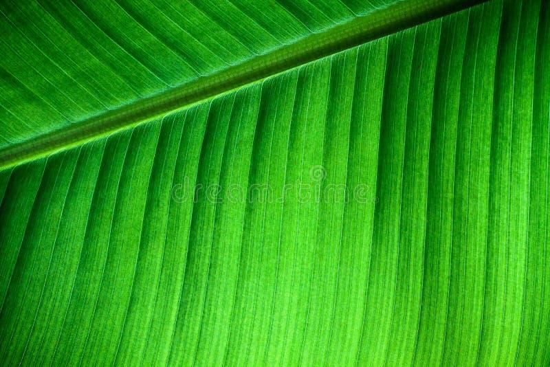 Αναδρομικά φωτισμένες στενές επάνω λεπτομέρειες της φρέσκιας δομής φύλλων μπανανών με midrib τη διαγώνιος στο πλαίσιο και τις ορα στοκ εικόνες