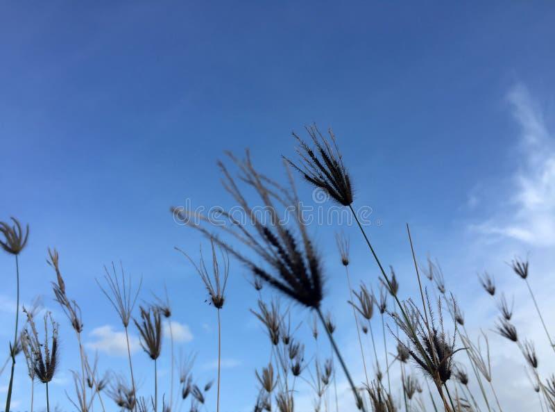 Αναδρομικά φωτισμένο λουλούδι χλόης στο υπόβαθρο μπλε ουρανού και σύννεφων στοκ εικόνα