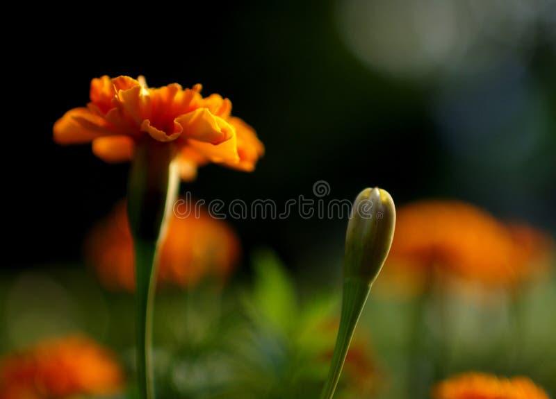 αναδρομικά φωτισμένο marigold στοκ φωτογραφίες με δικαίωμα ελεύθερης χρήσης