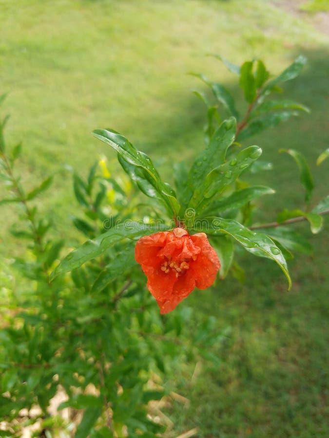 Αναζωογονημένο λουλούδι ροδιών στοκ φωτογραφία με δικαίωμα ελεύθερης χρήσης
