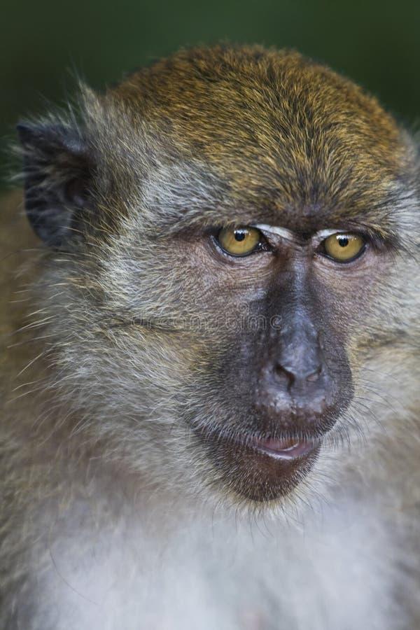 αναιδής πίθηκος στοκ φωτογραφία
