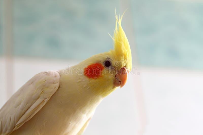 αναιδής παπαγάλος cockatiel στοκ εικόνες