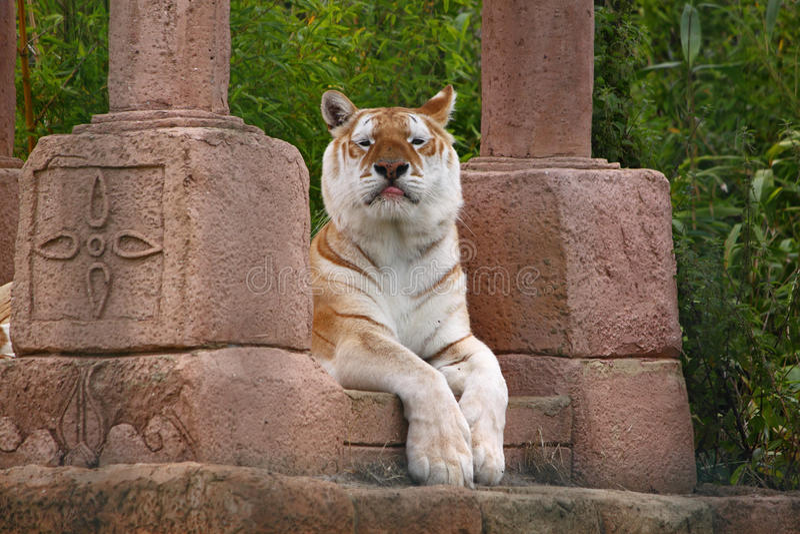 αναιδής τίγρη στοκ φωτογραφίες