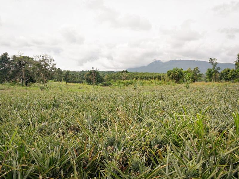 Ανανά ανάπτυξη φρούτων αγροτικού οργανική νέα ανανά τροπική στον τομέα στοκ εικόνες
