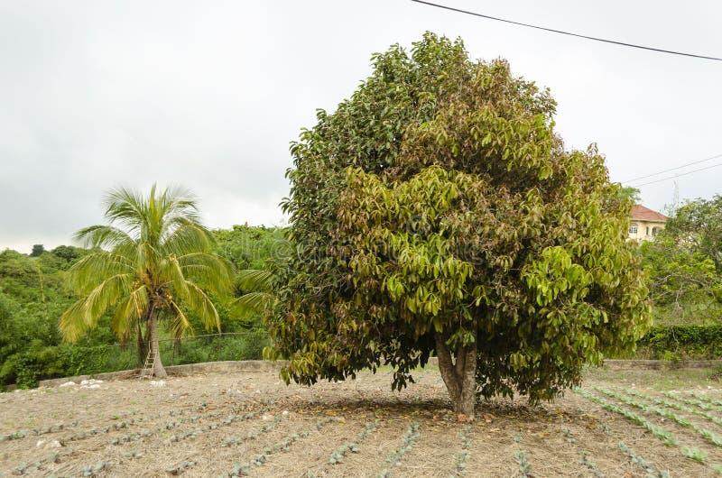 Αναπηδώντας δέντρο Otaheite στοκ φωτογραφία