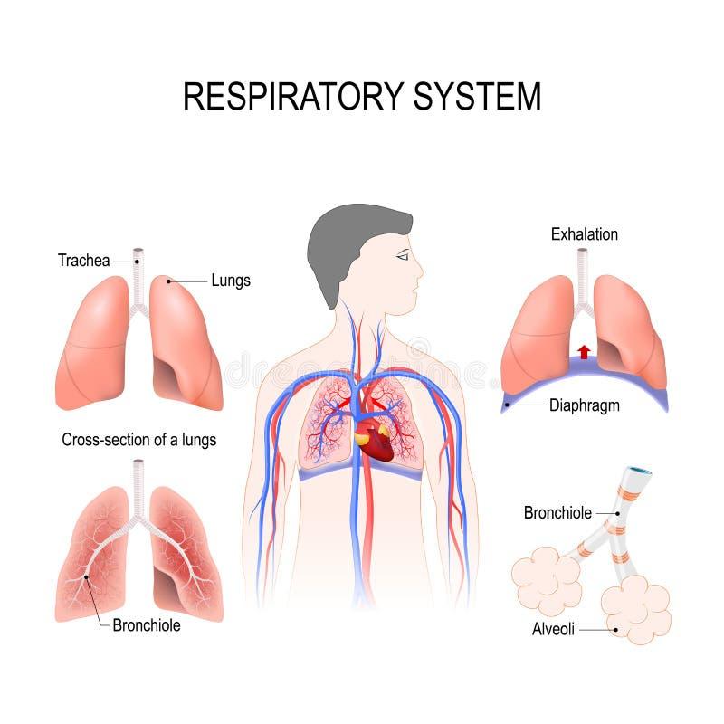 Αναπνευστικό σύστημα απεικόνιση αποθεμάτων