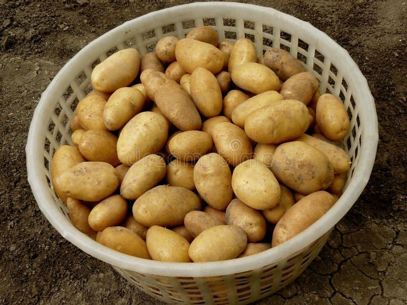 αναπτυγμένες βασικές πατάτες στοκ εικόνα