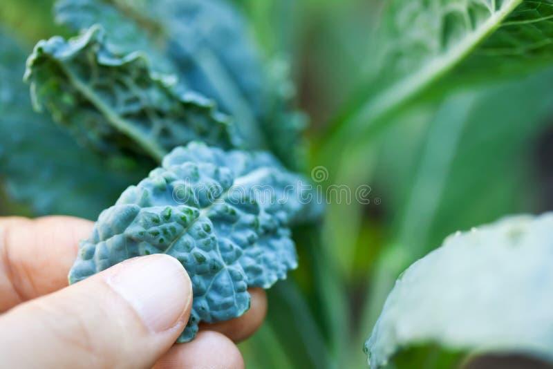 αναπτύσσοντας κατσαρό λάχανο στοκ φωτογραφία με δικαίωμα ελεύθερης χρήσης
