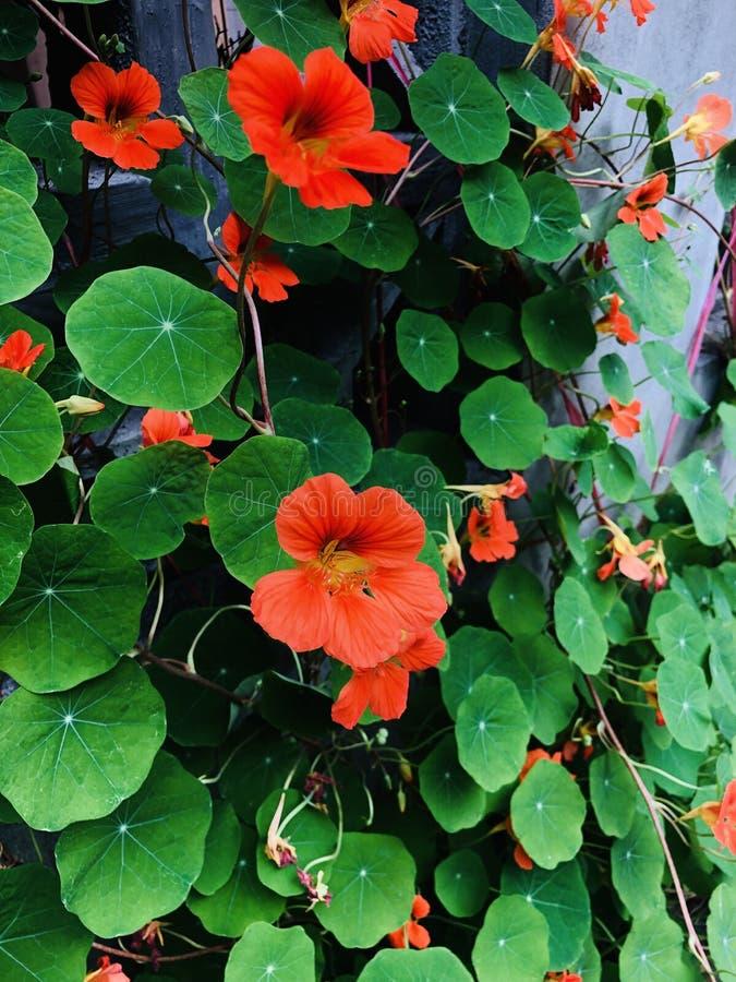 Αναρρίχηση του λουλουδιού τοίχων στοκ εικόνα με δικαίωμα ελεύθερης χρήσης