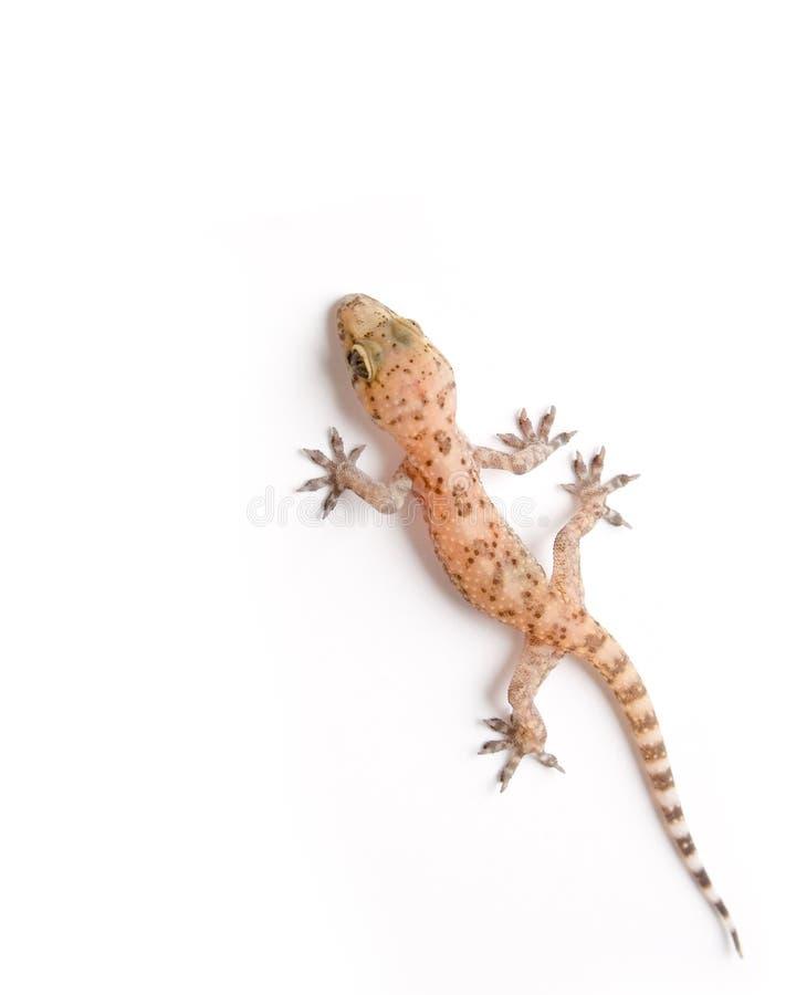 αναρρίχηση του gecko στοκ εικόνα με δικαίωμα ελεύθερης χρήσης