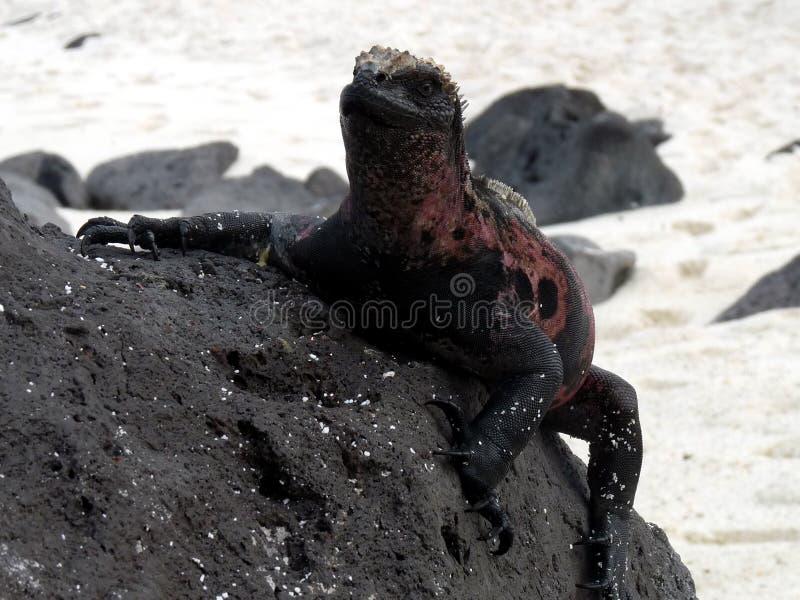 αναρρίχηση του iguana στοκ εικόνα